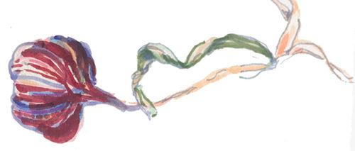 Illustration liggande vitlök av Irene Thisner